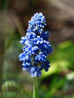 Hyacinth, Muscari Armeniacum, Blossom, Bloom, Flower