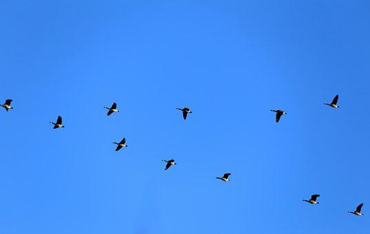 Geese, Canada Geese, Fly, Birds, Dash, Blue, Himmel