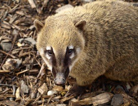Coati, Creature, Animal Portrait, Nose, Nasua