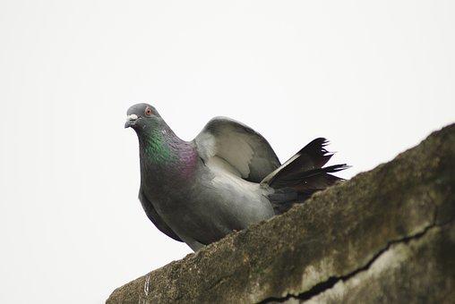 Pigeon, Rock Pigeon, Columba, Livia, Avian, Dove, Bird
