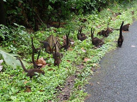 Coatis, Flock, Costa Rica, Central America, Tropical