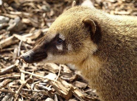 Coati, Creature, Animal Portrait, Nasua