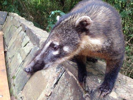 Coati, Bear, Predator, Creature, Zoo, Tropics, Animal