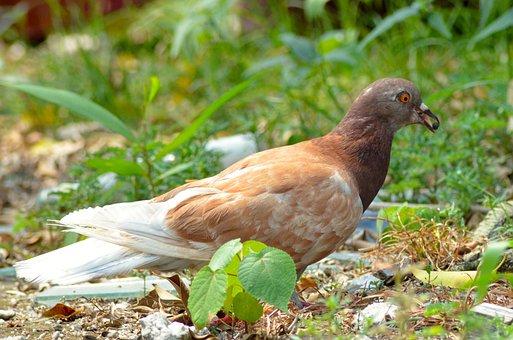 Pigeon, Dove, Bird, Beak, Berry, Tongue, Eat, Wildlife