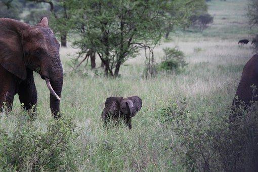 Elephant Family, Elefentankind, Elephant, Africa