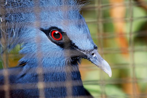 Blue, Crowned, Pigeon, Birds, Red, Eyes, Deep Blue