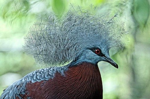 Scheepmaker Crowned Pigeon, Pigeon, Bird, Feather