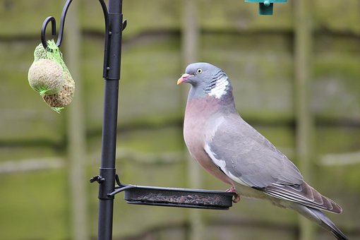 Pigeon, Birds, Bird, Feeder, Seed Tray, Bird Feeder