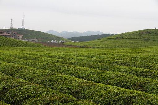China, Hunan, Fenghuang, Tea Garden