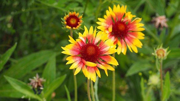 Blanketflower, Gaillardia, Yellow, Red, Pink, Flower