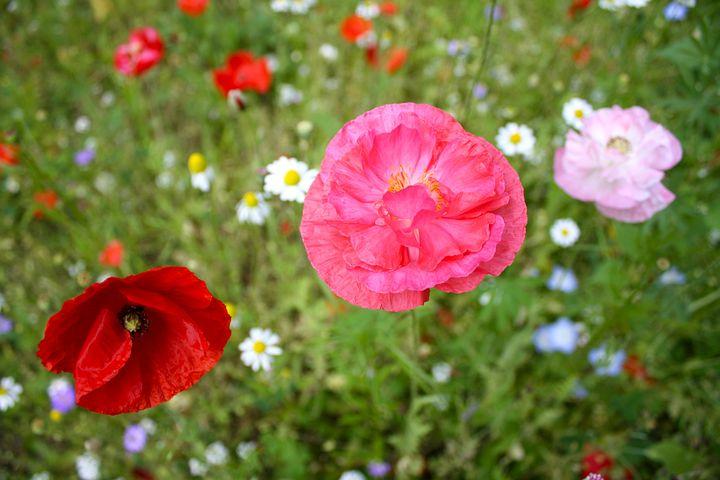 Poppy, Flower, Spring, Floral, Natural, Field, Blossom