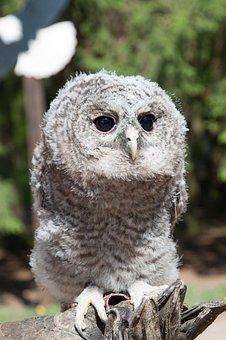 Tawny Owl, Breeding, Free Deer, Hellenthal, Baby