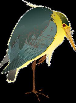 Black-crowned Night Heron, Heron, Nature, Night, Wader
