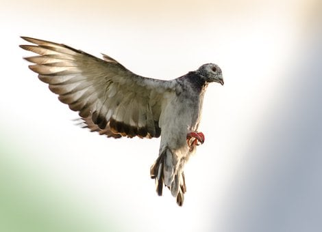Domestic Pigeons, Flight, Wings, Brake, Landing