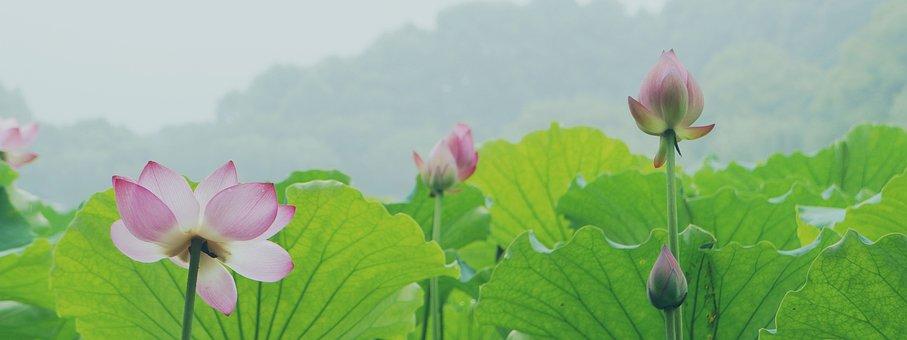 Lotus, Hangzhou, West Lake, Pond, Water Plant