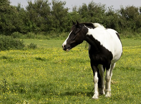 Horse, Pony, Black, White, Pinto, Animal, Mammal