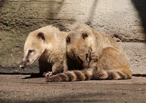 Coati, Proboscis Bear, Nasua, Small Bear, Nature