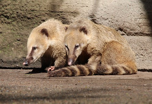Coati, Coatis, Nasua, Proboscis Bear, Small Bear