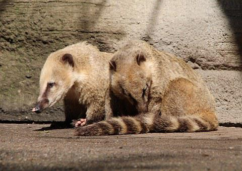Coati, Proboscis Bear, Nasua, Small Bear, Nature