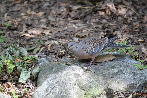 New, Pigeon, Mountain Dove, Nature, Birds, Mountain