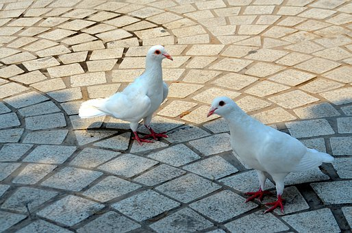 Animals, Bird, Birds, Pigeon, Albino, Pigeons, Park