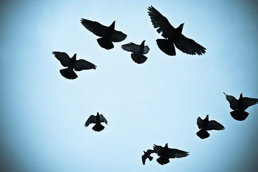 Birds, Pigeons, Silhouette Outline