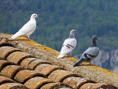 Pigeons, White Dove, Roof, Oteando