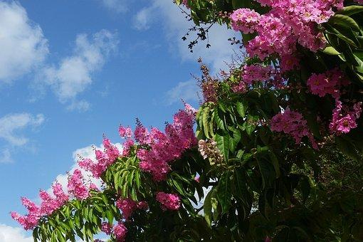 Pink Flower, Tree, Espumilla, Indian Lilac
