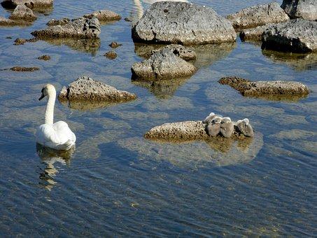 Swan, Signet, Water, Bird, Beautiful, Mother Swan