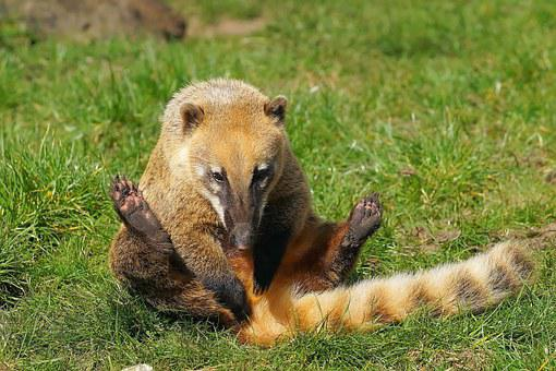 Coati, Proboscis Bear, Small Bear, Animal, Predator