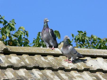 Squab, Post Pigeons, Pigeons, Couple, Nature, Animal