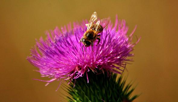 Bees, Thistle, Silymarin, Nature, Flower, Insects