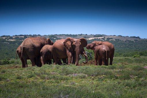 Mud Bath, Elephants, Wildlife, African, Safari, Mammals
