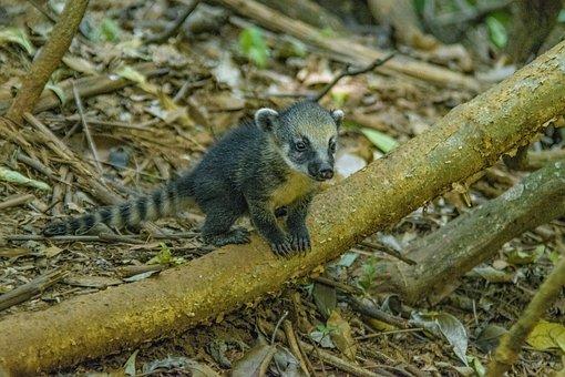 Coati, Nature, Mato, Park, Forest, Green, Woods