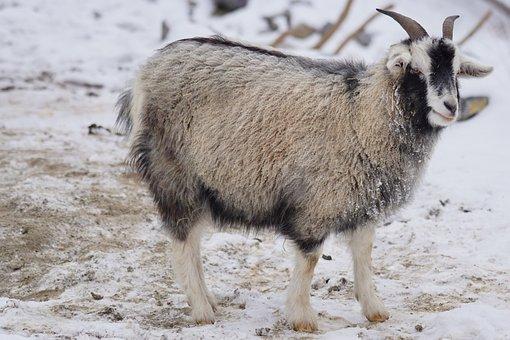 Goat, Cashmere Goat, Himalayas, Fine Undercoat, Animals