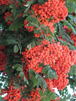 Rowan, Orange, Autumn, September, Berry, Orange Berries