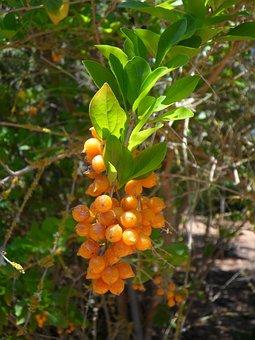 Berries, Berry, Orange, Orange Berry, Exotic, Bush
