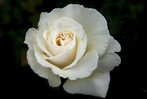Flower, Rose, Colorful, Petals, White, Floral, Blossom