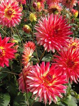 Dahlias, Flowers, Plant, Garden Plants, Bloom