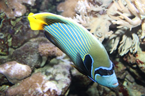 Emperor Angelfish, Pomacanthus Imperator, Fish