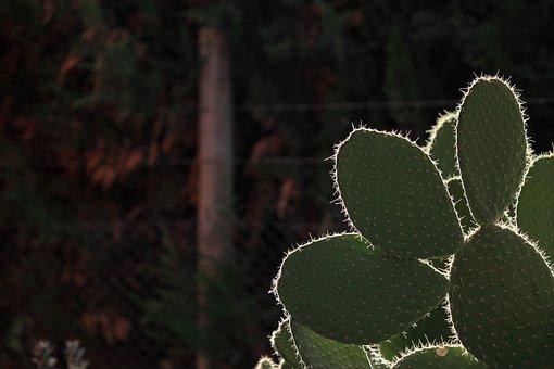 Cactus, Thorns, Desert, Thorny, Flora, Plant, Spina