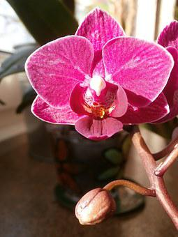 Windowsill Flower, Orchid, Flower