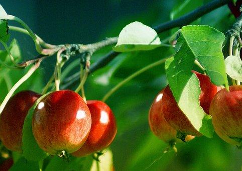Apples, Small, Small Apples, Ornamental Plants, Fruit