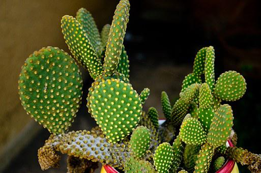 Cactus, Spina, Green, Nature, Plant, Barbed