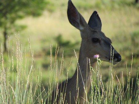 Roe Deer, Rehkopf, Animal, Field, Blurry, Hidden