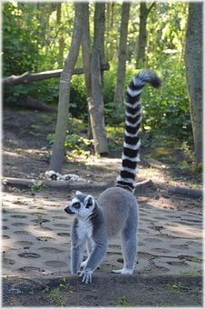 Ring-tailed Lemur, Rare, Wild, Exotic, Forest, Jungle