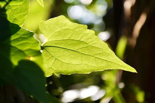 Gahala Vine Leaf, Leaf, Back Lit, Light, Sunlight