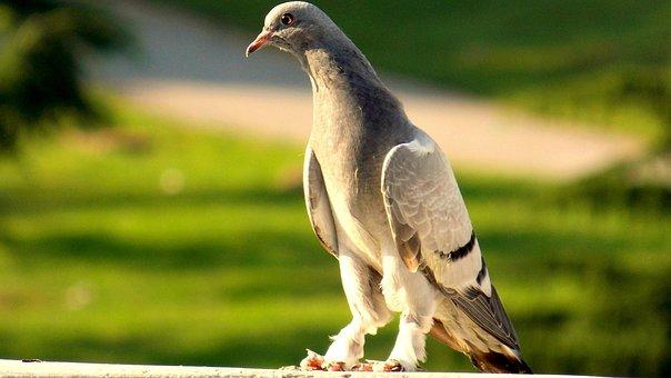 Pigeon, Birds, Beautiful, Nature, After The Sunset Glow