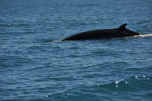 Minke Whale, Wal, Water, Sea, Nature