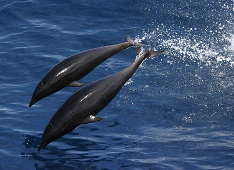 Northern Whale Dolphin, Sea, Ocean, Water, Jumping